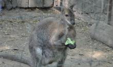 kenguru a Kecskeméti Vadaskertben