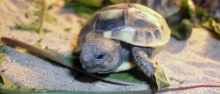 görög teknős