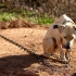 kutya láncon