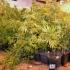 marihuana termesztés