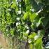 szőlőbirtok