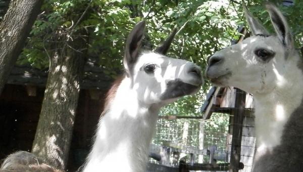 kecskeeéti vadaskert lámái
