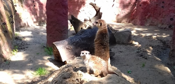 szurikáták